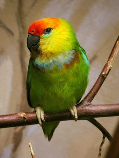 Large Fig Parrot from New Guinea Colorful Parrots, Colorful Birds, Budgies, Cockatiel, Green Parakeet, Animal 2, Beautiful Birds, Nature Photography, Pets