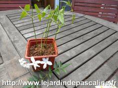 Le potager de Pascaline: Bouture de jasmin officinal