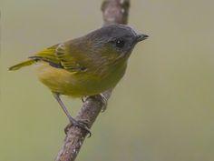 Green Shrike-Babbler (Pteruthius xanthochlorus) by Dibyendu_Ash.