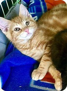 Island Park, NY - Domestic Shorthair. Meet Destin, a kitten for adoption. http://www.adoptapet.com/pet/17849994-island-park-new-york-kitten