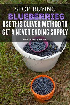Stop Buying Blueberries- Use This Clever Method To Get A Never Ending Supply Fruit Garden, Edible Garden, Vegetable Garden, Garden Plants, Greenhouse Gardening, Container Gardening, Growing Plants, Growing Vegetables, Organic Gardening