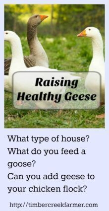 Do you want to raise healthy geese for your backyard farm? The goose is a good choice for a poultry addition to a homestead.