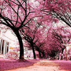 The world would be so much prettier with pink flowering trees Pink Flowering Trees, Pink Trees, Dogwood Trees, Colorful Trees, Blossom Trees, Cherry Blossoms, Pink Blossom, I Believe In Pink, Pink Clouds