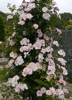 Billedresultat for a shropshire lass rose Lips Of An Angel, Magic Forest, David Austin Roses, Rose Park, English Roses, Dream Garden, Beautiful Roses, Plants, Climbing