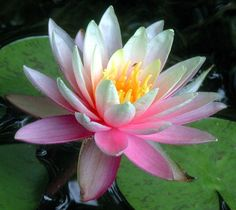 pink waterlily wallpaper