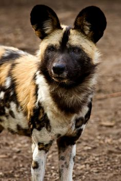 African wild dog is sadly in serious trouble and endangered.  They are wonderful to watch running.
