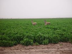 These deer enjoy eating green chile.  We often see them in chile fields in certain parts of the state of New Mexico.  They are very enjoyable to watch but can eat a lot of chile too.