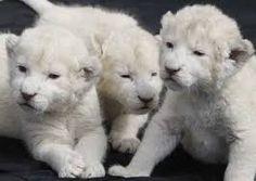 leoes brancos - Pesquisa Google