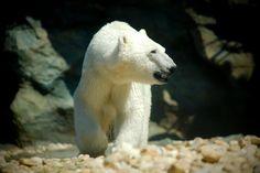polar bear Polar Bear