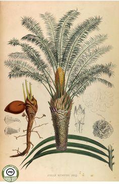 Cycas rumphii Miq. - Descriptions et figures des plantes nouvelles et rares (1847) -------------------------------------This image is in the public domain. Right click to download and use how you choose.
