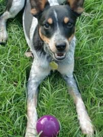 10/01/14 sl ~~Petango.com – Meet Danny, a 1 year 10 months Terrier, Jack Russell / Australian Cattle Dog available for adoption in YOUNGSVILLE, LA