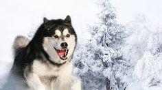 Resultado de imagem para wallpapers lobos siberianos hd
