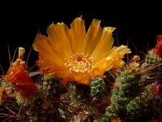 Tephrocactus weberii 'deminuta' WR 241
