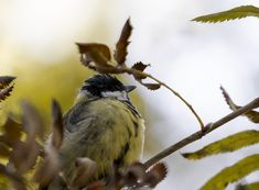 Great tit portrait from a different perspective