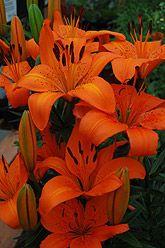Orange Pixie Lily (Lilium