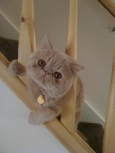 Learn everything about Exotic Shorthair Cats. Find all Exotic Shorthair Cat Breed Information, pictures of Exotic Shorthair Cats, training, photos and care tips. Persian Kittens, Cats And Kittens, Crazy Cat Lady, Crazy Cats, Animals And Pets, Cute Animals, Himalayan Cat, Exotic Cats, Cat With Blue Eyes