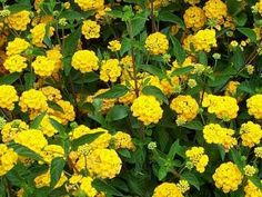 "Lantana montevidensis 'New Gold' (New Gold              Trailing Lantana)   Water Use:  Low    Size:  18"" x 2'   Sun:  Full Sun to Part Shade                             CA Native:  No       Deer Resistant:  Rarely damaged   Wildlife Value: Bees, butterflies, hummingbirds"