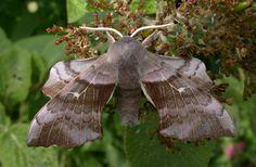 poplar hawk moth Winklebury, Basingstoke, North Hampshire MV box trap, Mike Wall (c) Mike Wall 2004 Moth Species, Linnaeus, Moth Caterpillar, Hawk Moth, Beautiful Bugs, Bugs And Insects, Woodland, Exotic, Creatures