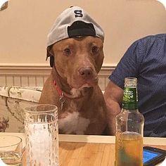 9/29/16 New York, NY - Pit Bull Terrier Mix. Meet Zeus, a dog for adoption. http://www.adoptapet.com/pet/16083853-new-york-new-york-pit-bull-terrier-mix
