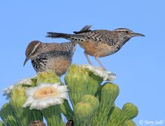 Cactus Wrens - saw quite a few last time I was at Pappy & Harriets, having their way with the dumpsters.  They make super cool nests, horizontal cylinders, like those peep-show sugar Easter eggs.  Used to find nests at the Botanic Gardens in Claremont, but not for many years now.