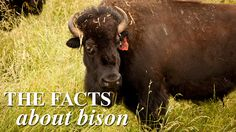 The Facts about Bison (and why you should consider adding it to your diet)