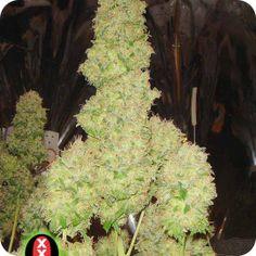 White Russian - strain - Serious Seeds   Cannapedia