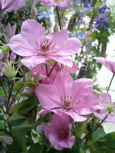 Clematis 'Summer Dream' has a very delicate sense about it, its pale pink petals with its slightly deeper pink stripe compliment each other very well. It flowers from June til September and can reach heights of Group Climbing Clematis, Climbing Vines, Clematis Flower, Clematis Vine, Clematis Varieties, Perennial Bulbs, Cottage Garden Plants, Flowering Vines, Plantation