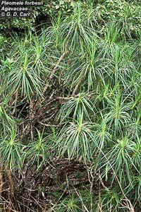 Hala Pepe - Photo of Pleomele forbesii plants