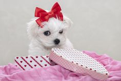 www.pamperedpetstravel.com  #travel #trip #traveling #PetTravel #dog #dogs #puppy #puppies #pet #pets #cute #CuteDog #Ribbon #Red