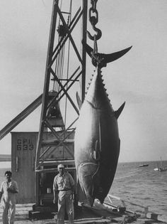 337 Lb Tuna Caught at Cabo Blanco Peru by Member of the Cabo Blanco Fishing Club Frank Scherschel P Tuna Fishing, Fishing Lures, Fly Fishing, Monster Fishing, Salt Water Fish, Fishing Photography, Fishing Pictures, Deep Sea Fishing, Big Fish