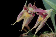 Miniature-orchid / Micro-orquidea: Specklinia absurda