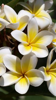 plumeria_flowers_buds_green_beautifully_37099_640x1136 | Flickr