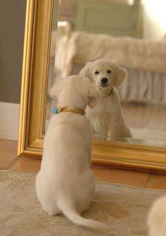 Oh so cute Golden Retriever puppy checking herself out in the mirror