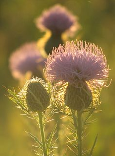 1000 Images About Thistle Heather Bluebells On Pinterest