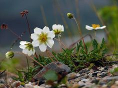 Lapinvuokko, Dryas octopetala - Avens -Kukkakasvit - LuontoPortti Flower Prints, The Great Outdoors, Finland, Wild Flowers, Scenery, Print Ideas, Bokeh, Ferns, Arctic