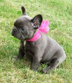 Blue French bulldog puppy for sale so cute!