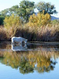 Salt River Wild Horses  Deb Saunders