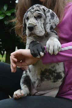 Harlequin Great Dane   Puppy!