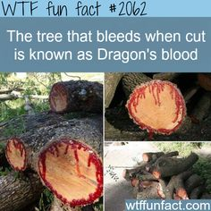 The tree that bleeds - WTF fun facts