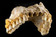 Neanderthal groups based part of their lifestyle on sexual division of labor. (Journal of Human evolution). Performed by Spanish National Research Council, it analyzed 99 incisors and canine teeth of 19 individuals from three different sites, Spain, France and Belgium) and revealed that dental grooves present in female fossils follow same pattern, which is different to that found in male individuals.