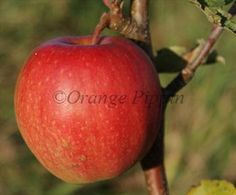 Cripps Pink is one of the best-known modern apple varieties, well-suited to the warmer apple-growing regions. Visit our site for more advice.