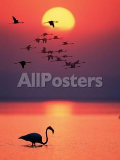 Greater Flamingos at Sunset by Jason Ratliff Landscapes Photographic Print - 46 x 61 cm