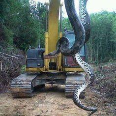 pic of the amazon snake big anaconda | Giant snake photo not from NC, despite rumors