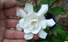 Wilson Bros Gardens is excited to introduce the Fall In Love™ Hardy Gardenia, another fabulous new introduction plant from Wilson Bros Nursery in Georgia. Evergreen Shrubs, Flowering Shrubs, Fast Growing Shrubs, Online Plant Nursery, Buy Plants Online, Garden Online, White Flowers, Mcdonough Georgia, Perennials