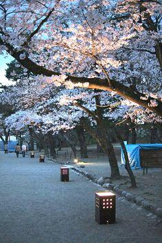 ˚Cherry Blossom Walk - Kyoto, Japan