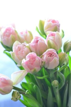 Ahh, The Pretty Things: Photo Pink Tulips, Tulips Flowers, Tropical Flowers, Spring Flowers, Daffodils, Beautiful Flowers Photos, Flower Photos, Amazing Flowers, Easy Flower Painting