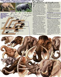 "The ""Micro"" Evolution of Elephants"