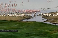 Pink flamingos, white pelicans at the Lake Manyara, Tanzania by A.D. Iannotti on 500px