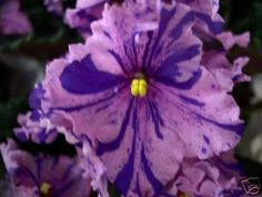 Bmans Etna Love Flowers, Purple Flowers, Beautiful Flowers, Perennial Flowering Plants, Herbaceous Perennials, Room With Plants, Live Plants, Saintpaulia, Purple Garden