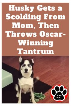 Husky Gets a Scolding From Mom, Then Throws OscarWinning Tantrum is part of Silly dogs - This is what it's like to argue with a dog Funny Animal Videos, Funny Animal Pictures, Funny Photos, Dog Videos, Animal Memes, Videos Funny, Animals And Pets, Funny Animals, Cute Animals